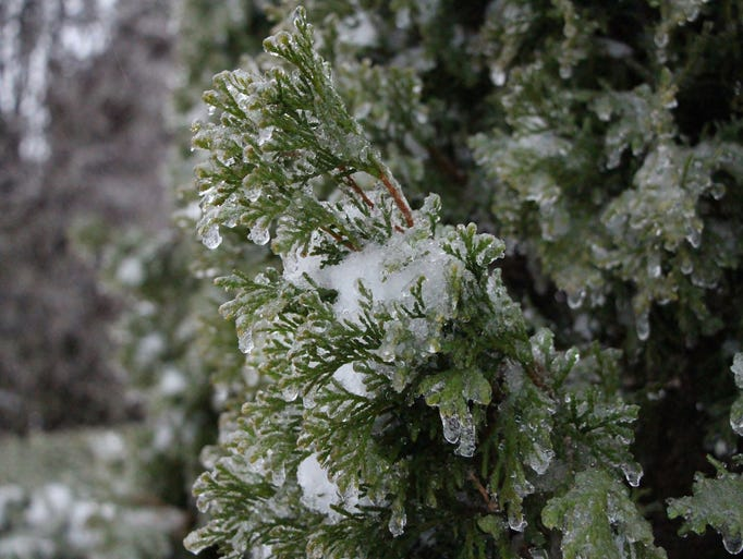 """Freezing rain weighing down branches on trees."""