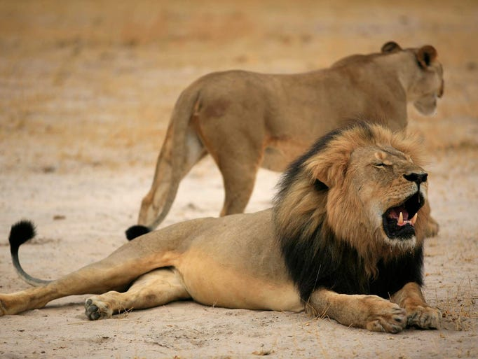 Cecil, one of Zimbabwe's most famous lions, rests in