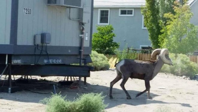 A bighorn sheep ram wanders past a trailer in Spanish Springs.