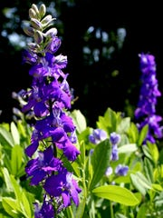 Let the mature seeds of larkspur drop to the ground