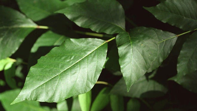 Poison ivy can be supremely irritating, but there are step you can take in you come in contact with it.