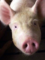The USDA reports that the U.S. hog inventory is up 3 percent and growing.