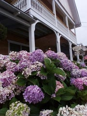 The Hydrangea House in Beach Haven, with its namesake flower in bloom.