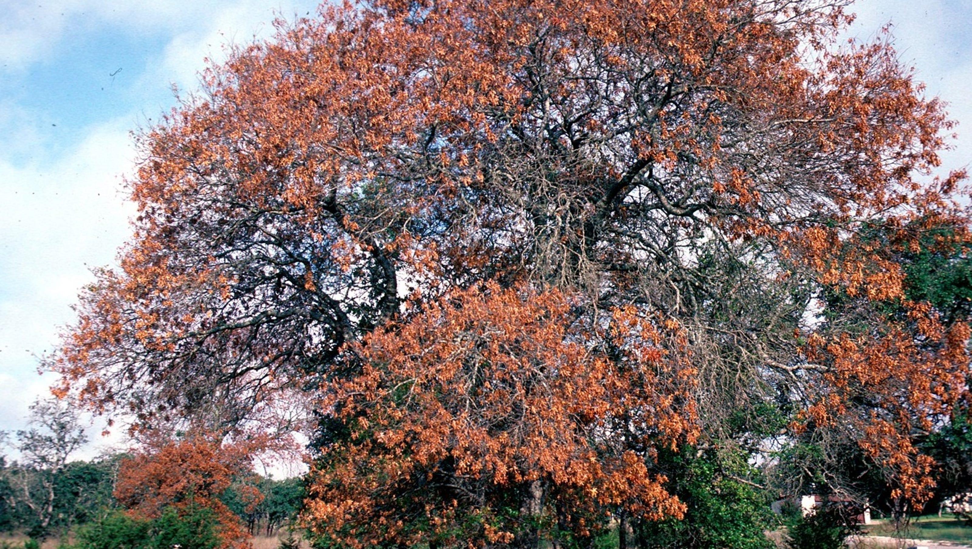 Oak tree killer found in South Bristol