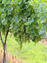 White wine grapes hang on the farms at Harvest Ridge