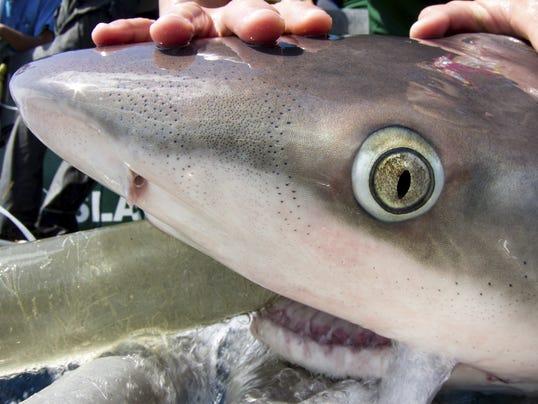 Shark Tagging Florida