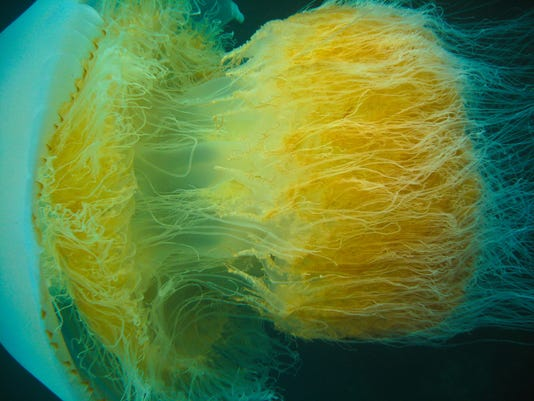18-Nomura_jellyfish_2009-wiki_ Kimse