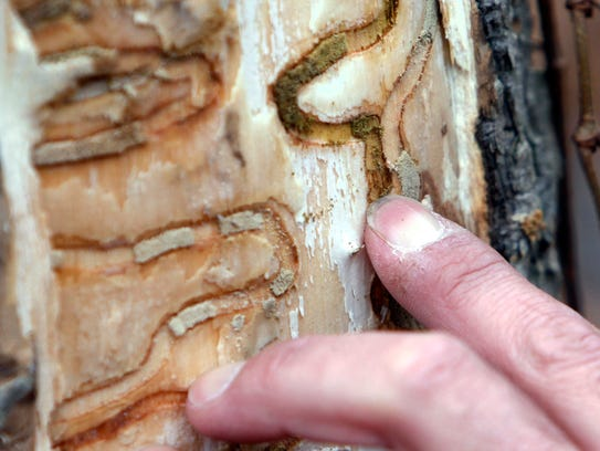 The markings left from emerald ash borer larvae on an ash tree are pointed out in Saugerties, N.Y. The emerald ash borer, first found in 2002 in Michigan, is now in 30 states and has killed hundreds of millions of ash trees.