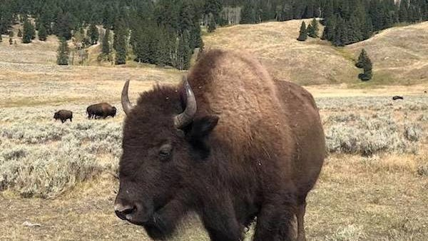 'A threatened bison may charge': California woman gored at Yellowstone National Park while trying to get a photo thumbnail