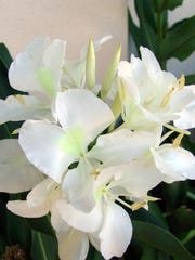 White butterfly ginger lily (Hedychium coronarium)