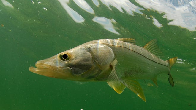 Snook fish swimming in the Atlantic Ocean off the coast of Florida.