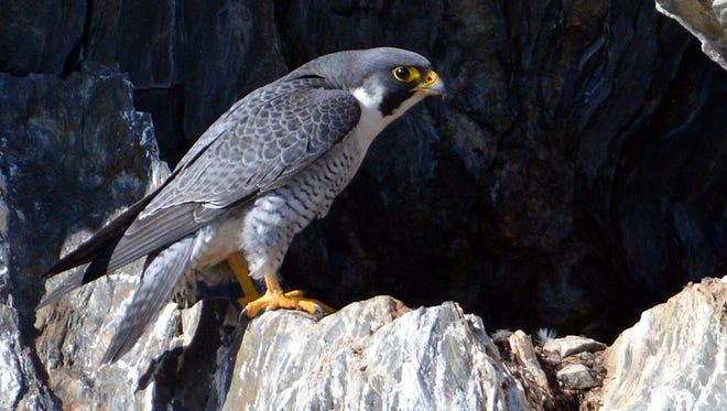 A Peregrine falcon perches on a rock face.