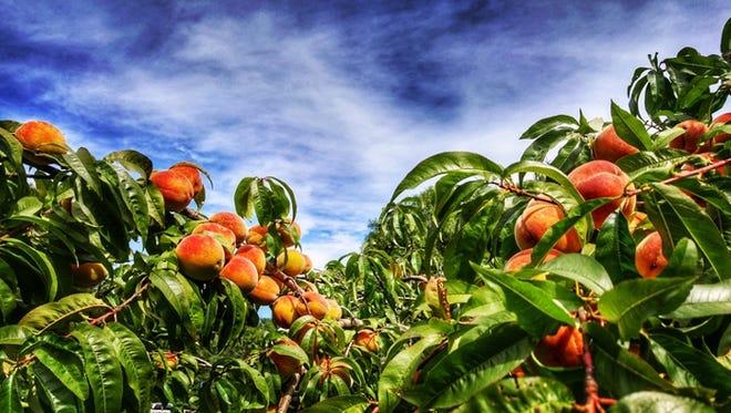 peach summer