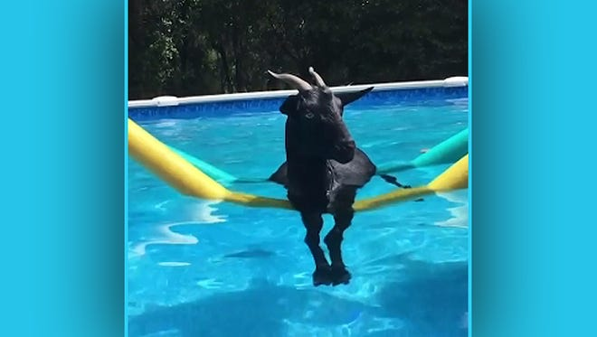 A goat in a pool.