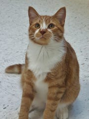 Isaac is a wonderful orange tabby boy! He came into