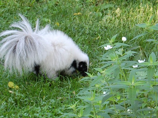 Ray Ziarno took the photo of a white skunk in his backyard. The skunk visited a second time after Ziarno realized his camera batteries were dead.