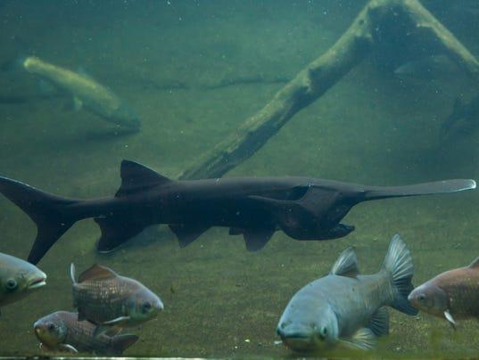 American paddlefish (Polyodon spathula).