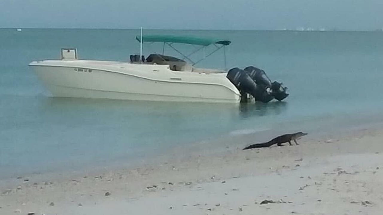 Jessica DeGraw, of Sanibel Island, spotted a 4 to 5 feet long alligator near Lovers Key State Park on Monday, June 18, 2018.