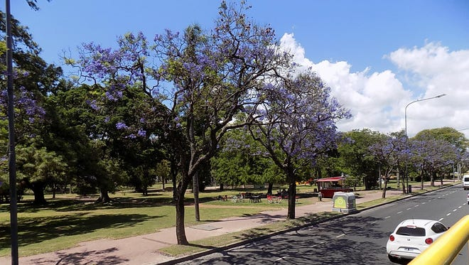 Jacarandas are in full bloom in December in Buenos Aires.