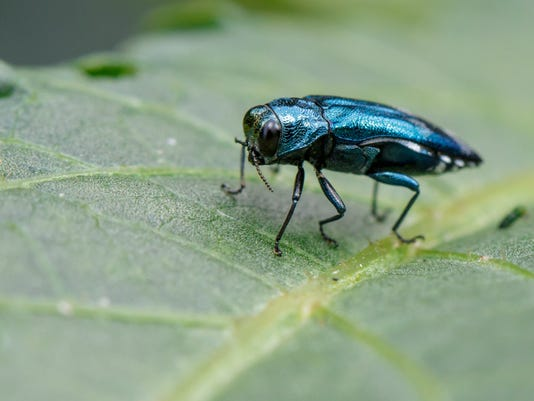 Image of Emerald Ash Borer Beetle on a green leaf. Insect. Animal