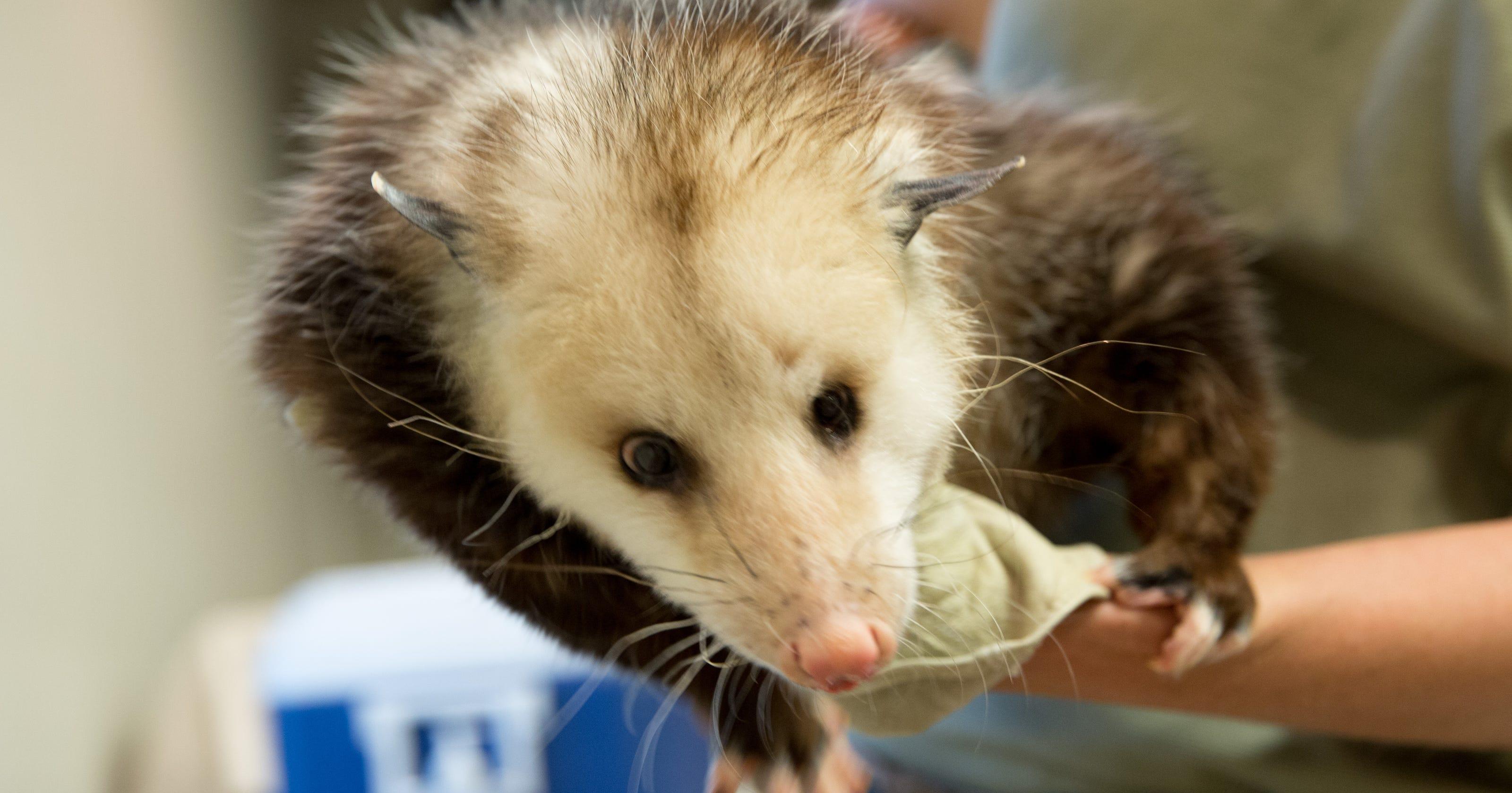 3 Iowa teens accused of beating live opossum on video
