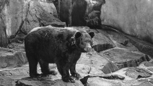 FILE - This undated file photo shows the original Smokey the Bear, symbol of forest fire prevention is shown in his National Zoo home in Washington, D.C.Smokey died in 1976 and was returned where he was  found as a cub with burned paws in 1950 in Capitan N.M.  Smokey Bear was created in 1944 because of fears that enemy shelling from Japan would cause forest fires while most U.S. firefighters were in battle overseas. When the war ended, Smokey stuck around _ and he is now at the center of the longest-running public service announcement campaign in U.S. history. Research shows he is known by 96 percent of American adults and ranks near Mickey Mouse and Santa Claus for name recognition.  (AP Photo)