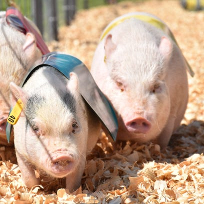 Pig, duck and goat races attract large crowds at the Waukesha County Fair