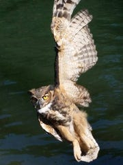 A great horned owl was rescued in Ogden Tuesday after