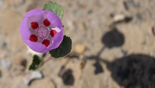 The Desert Five Spot flower near Saratoga Springs in the Ibex Hills of the Mojave Desert.