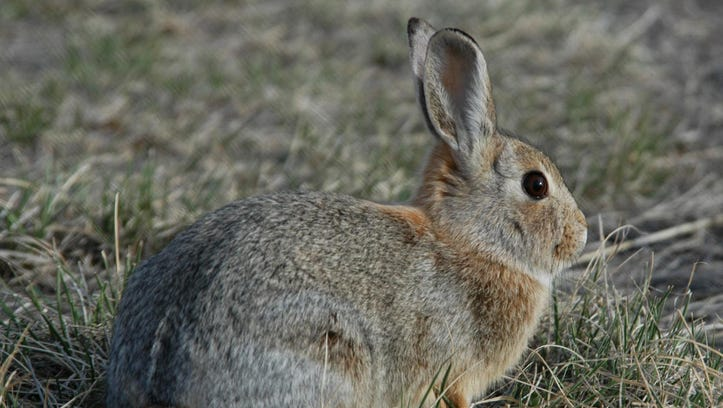 Mountain cottontails are the most widespread cottontail