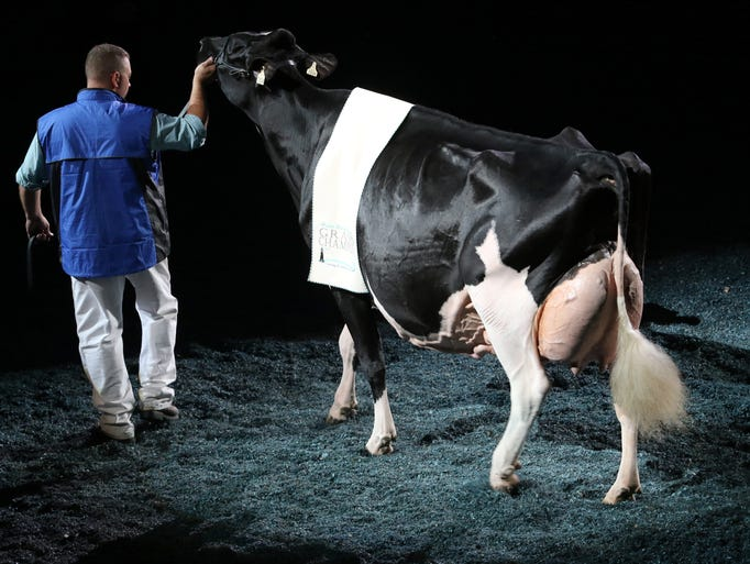 Rosiers Blexy Goldwyn-ET enters the coliseum led by