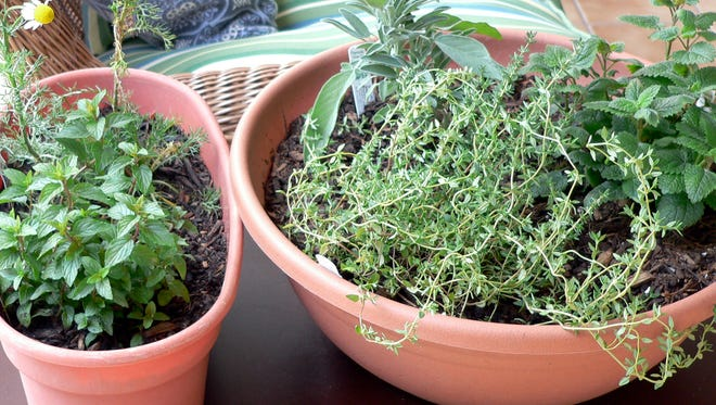 This August 24, 2012 photo provided by Jennifer Forker shows a medicinal indoor herb garden for healthful herbs throughout the winter months, from left, chocolate peppermint, and chamomile, and right, French thyme, sage, and lemon balm in Arvada, C.O.