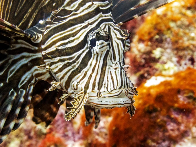 Lionfish were first introduced into Florida waters in the late 1980s.