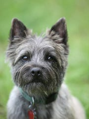 """Nigel the terrier stars as Toto in the new national tour of """"The Wizard of Oz."""""""