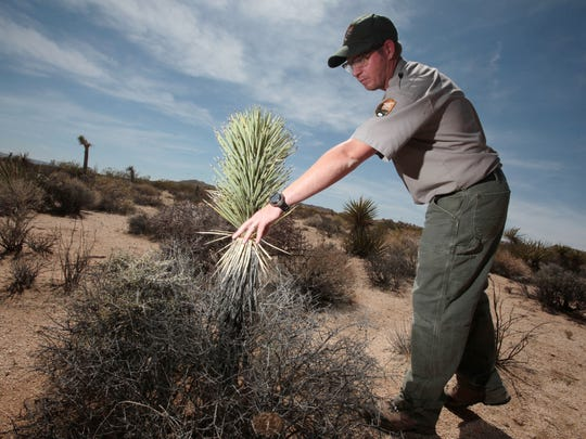 Josh Hoines, the vegetation branch chief at Joshua Tree National Park, looks at a Joshua tree that may be about 30 years old in the park's Twin Tanks area on May 9. The area is on the edge of Joshua trees' habitat.
