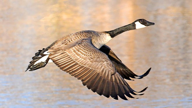 "Linda Cate's photo entitled ""Taking Off"" features a Canada goose."