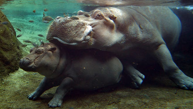 Henry the hippo rests on top of his daughter, Fiona, in summer 2017 in the hippo cove at Cincinnati Zoo where mom Bibi also lives.