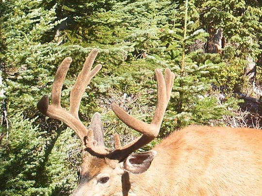Blacktail dear are difficult to hunt in Oregon, but