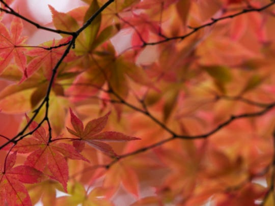 Maple tree in fall, stock image.