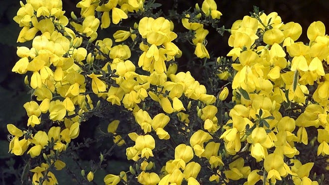 Scotch broom is an invasive and noxious weed in Oregon.