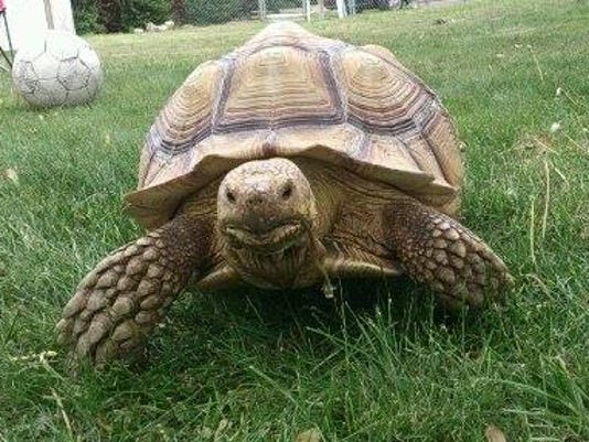 636384821895729375-turtle1.jpg