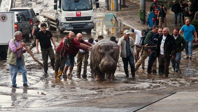 People help a hippopotamus escape from a flooded zoo in Tbilisi, Georgia, on Sunday.