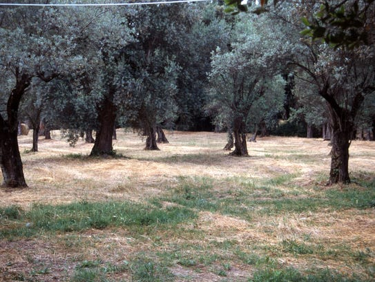 This old fruiting olive orchard is well outside Rome