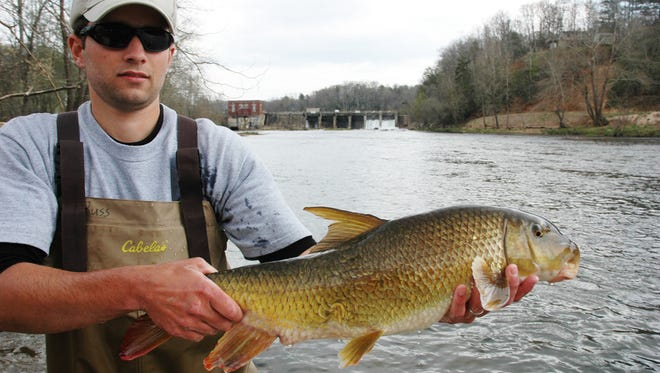 State wildlife biologist TR Russ holds a sicklefin redhorse. The rare fish is found in only five counties in Western North Carolina and one in Georgia.