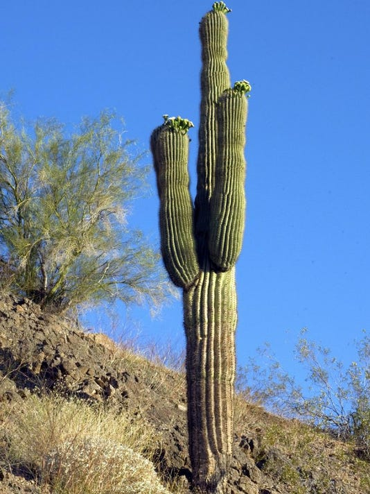 Wild saguaro in California desert