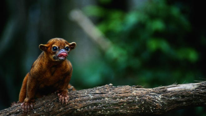 Sometimes called honey bears, the kinkajou is a relative of the raccoon and native to Central and South America.
