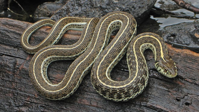 The northern Mexican gartersnake was rediscovered along the Colorado River in 2015, 111 years since it had last been seen.