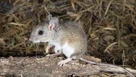 Deer mice are carriers of the hantavirus and spread the often fats disease through contact with droppings or urine.