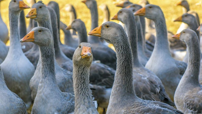Perigord geese can be force fed by farmers. Their fattened lives are used to make foie gras.