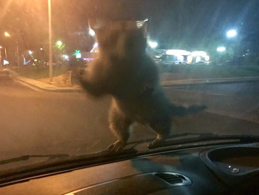 Hitchhiking Raccoon